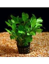 Водно растение - Shinnersia green - 5 - 8 см.