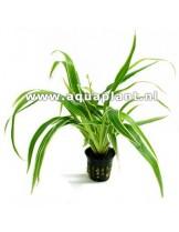 Водно растение - Chlorophytum bichetii - 14 - 18 см.