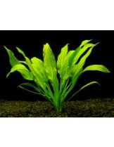 Водно растение - Echinodorus amazonicus - 14 - 18 см.