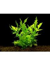 Водно растение - Ceratopteris cornuta (Grof) - 14 - 18 см.
