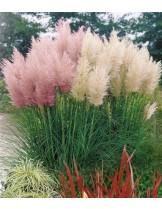 Кортадерия (Пампаска трева) микс семена