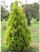Thuja orientalis - Източна туя - височина на растението - 0.6 - 0.8 м.