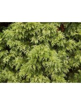 Thuja plicata 'Zebrina' - туя зебрина - височина -  40 - 60 см.