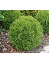Thuja occidentalis 'Danica'  - западна туя кълбовидна - височина - 20 - 30 см.