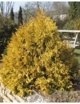 Thuja occidentalis 'Elwangeriana Rheingold' - височина -  20 -30 см.