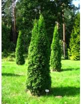 Thuya occidentalis 'Columnaris'  - Западна туя - височина на растението - 0.4 - 0.6 м.