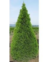 """Thuya Conifer """"Smaragd """" - Смарагдова туя - височина на растението - 0.4 - 0.6 м."""