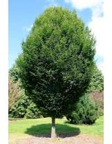 Carpinus betulus 'Fastigiata' - габър - приблизителни размери - 60 - 80 см.