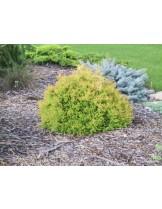Thuja occidentalis 'Elwangeriana Rheingold'- златиста, кълбовидна туя - височина на растението - 0.2 - 0.3 м.