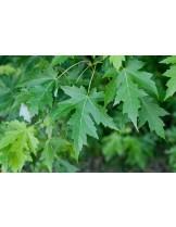 Acer saccharinum - Явор (клен) - приблизителни размери -  350 - 400 см.