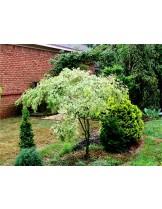 Acer palmatum 'Butterfly' - Явор (клен) - приблизителни размери - 40 - 50 см.