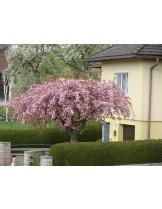 "Prunus serrulata 'kiku shidare zakura'  - Японска вишна ""плачеща"" - 1.60 - 1.90 м. (в контейнер)"