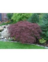 Acer palmatum 'Dissectum'  - Явор (клен) - приблизителни размери - 80 - 100 см.