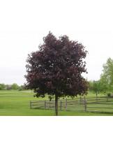 Acer platanoides 'Crimson King'   - Явор (клен) - приблизителни размери - 300 - 350 см.