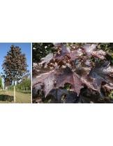 Acer platanoides 'Faassen`s Black' - Явор (клен) - приблизителни размери - 200 - 225 см.