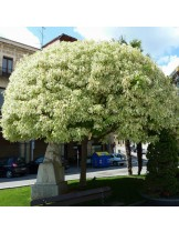 Acer Negundo Variegatum - Явор (клен) - приблизителни размери -  300 - 350 см.