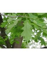 Quercus rubra - Американският червен дъб - приблизителни размери -  170 - 200 см.