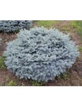 Сребрист кълбовиден смърч - джудже (Picea pungens Glauca Globosa) - 30 - 50 см.