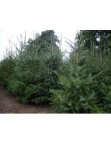 Picea omorica  - Смърч - височина - 175 - 200 см.