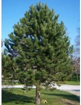 Pinus nigra - Черен бор - височина - 80 - 100 см.