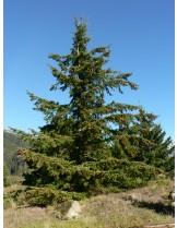 Pseudotsuga menziesii - височина - 350 - 400 см.