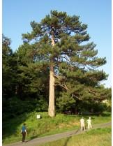 Pinus sylvestris - Бял бор - височина - 60 - 80 см.