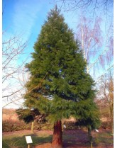 Sequoidendron giganteum - гигантска секвоя - височина - 40 - 60 см.