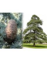 "Cedrus atlantica ""pyramidalis"" - Атласки кедър - височина на растението - 0.4 - 0.6 м."