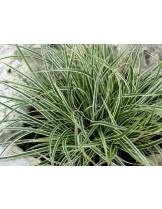 Carex conica 'Snowline' - Карекс - приблизителни размери - 10 - 20 см.