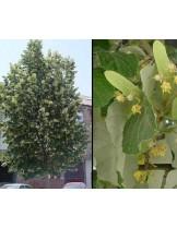 Tilia argentea - липа - приблизителни размери - 40 - 60 см.
