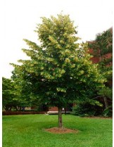 Tilia platyphyllos  - Едролистна липа - приблизителни размери - 40 - 60 см.