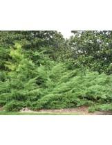 Juniperus chinensis 'Pfitzeriana' - хвойна - 20 -40 см.