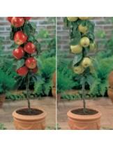 Ябълка - декоративна - височина -1.00 - 1.10 м.