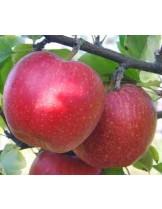 Ябълка - Айдаред -  височина -1.00 - 1.10 м.