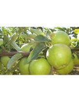 Ябълка - Грени Смит - височина - 1.00 - 1.10 м.