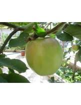 Ябълка - Муцу - височина - 1.00 - 1.10 м.