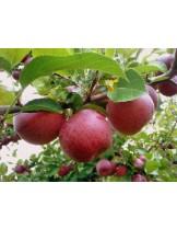 Ябълка - Червена превъзходна - височина - 1.00 - 1.10 м.
