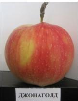 Ябълка - Джонаголд -  височина -1.00 - 1.10 м.