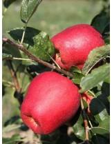 Ябълка Молиз Делишес - 1.50 - 2.00 м.