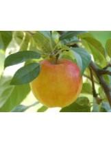Ябълка - Прима - височина - 1.00 - 1.10 м.