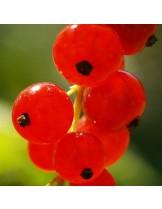 Френско грозде (касис) - червено -височина -  0.4 -0.6 м.