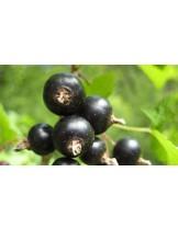 Френско грозде  (касис) - черно -височина -  0.4 -0.6 м.