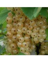 Френско грозде  (касис) - бяло -височина -  0.4 -0.6 м.