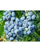 Синя Американска Боровинка - 2 годишен храст (в саксия)