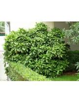 Aucuba japonica - приблизителни размери - 20 - 40 см.