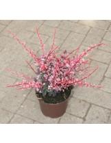Berberis thunbergii 'Arlequin' - приблизителни размери - 20 - 40 см.