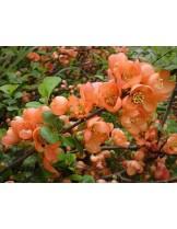 Chaenomeles superba 'Orange Trail' - хеномелес Декоративни дюли - приблизителни размери - 80 - 100 см.