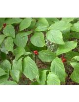 Cornus florida - Корнус, кучешки дрян - приблизителни размери - 20 - 40 см.