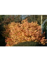 Cornus sanguinea 'Winter Beauty'  - Корнус, кучешки дрян - приблизителни размери - 20 - 40 см.