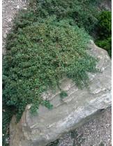 Cotoneaster microphylla 'Queen of Carpet'  - Котонеастер  - приблизителни размери -  20 - 40 см.